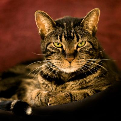 Pet portrait of a cat by Flint Photography | Houston | Katy