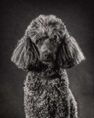 Poodle portrait by Houston pet photographer Sandy Flint | Flint Photography